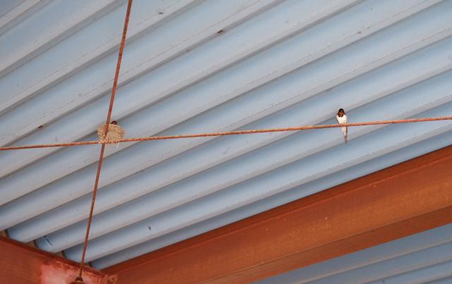 画像: わが家のガレージに巣を作ったツバメ。その仕草や飛ぶ様子がなんとも愛らしく、つい眺めてしまいます