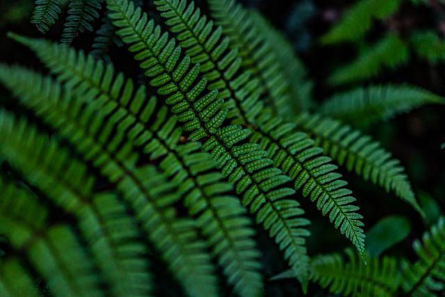 画像: 葉の裏に点々と並んでいる「胞子のう」から胞子が出ます