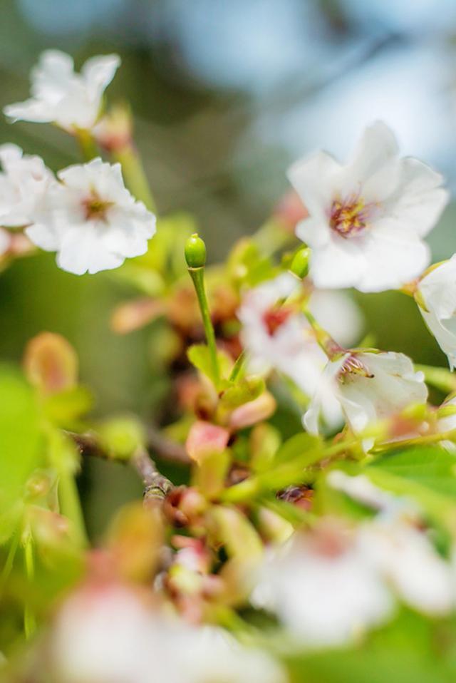 画像: さくらの花と実
