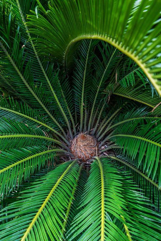 画像: 恐竜がいた時代に栄えていた植物の生き残り、裸子植物のソテツ。雌雄異株で、写真は雌花です