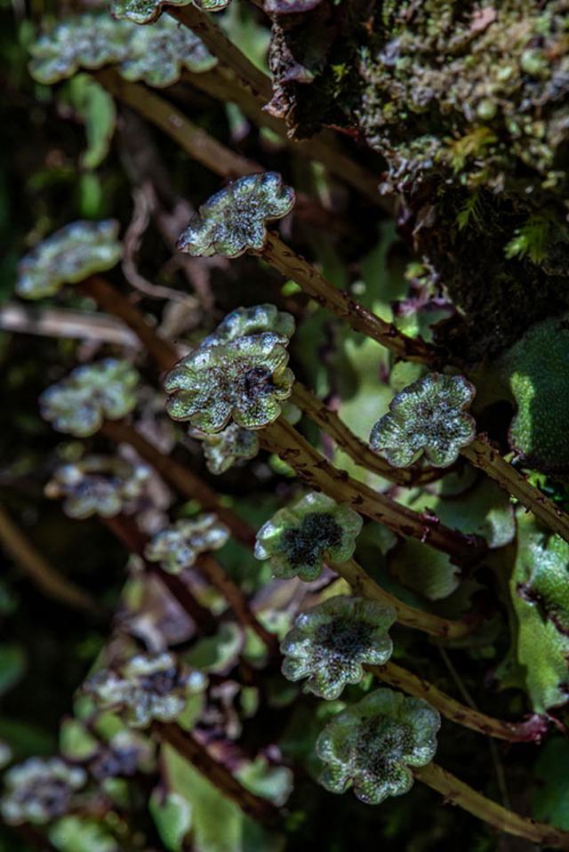 画像: ゼニゴケの雄株。お花のような形の雄器託(ゆうきたく)は、精子をつくる器官に柄がついたものです