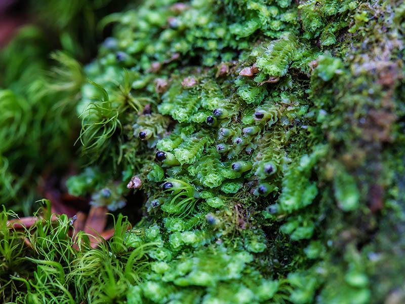 画像2: 苔類の胞子体の特徴