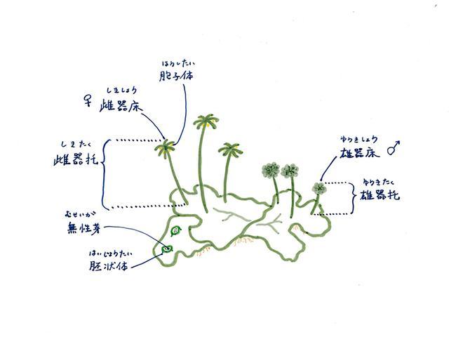 画像1: 苔類の胞子体の特徴