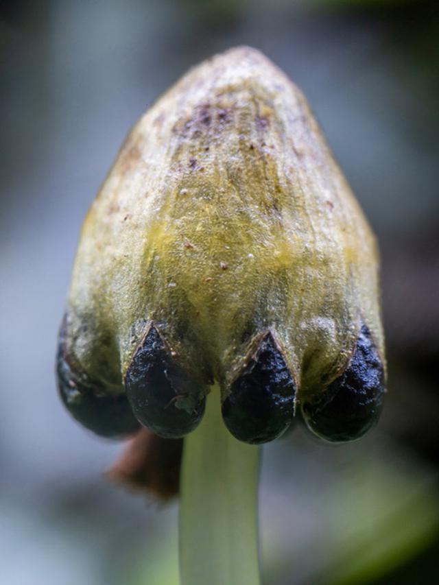 画像: ジャゴケの雌株から伸びた雌器床。受精すると、傘の下にぶら下がって見える玉のような部分が膨らんで目立つようになります。この玉がはじけて、中から胞子が出ます