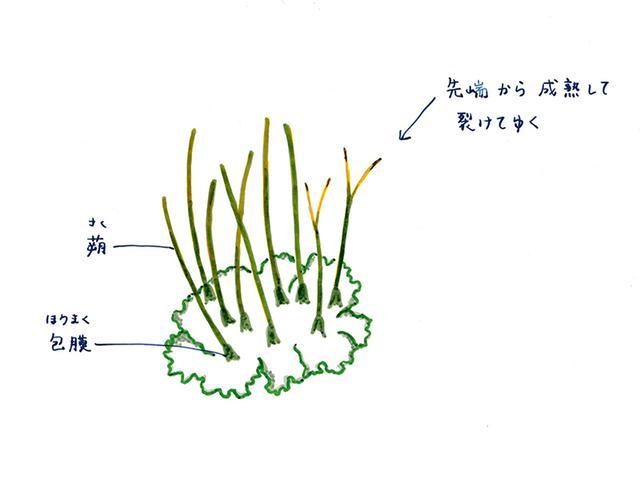 画像: ツノゴケ類の胞子体の特徴
