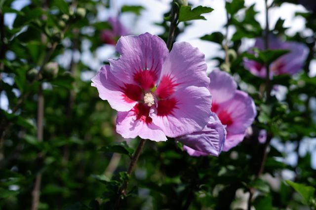 画像: 庭に咲いたムクゲの花