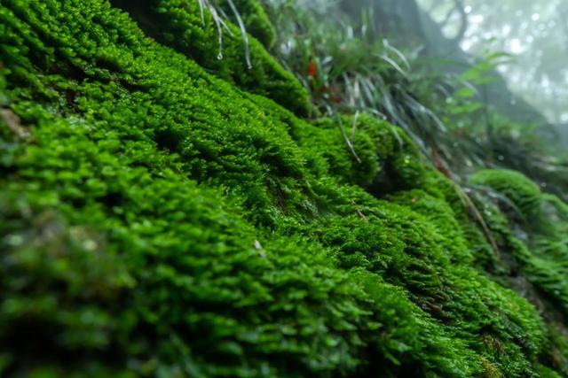 画像: 大きな岩の上の方まで覆い尽くすこけの葉をつたって、雨水がしたたり落ちてきます