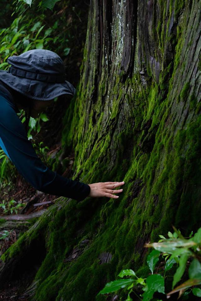 画像: こけむしたスギの根もとは、びろうどのような触り心地