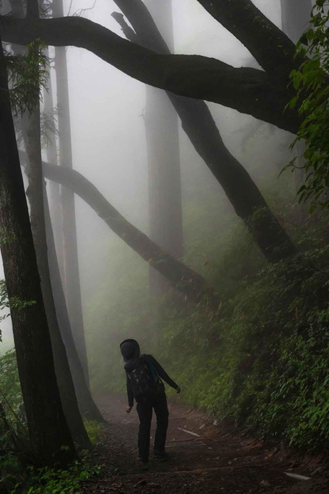 画像: 山道の霧で霞む幻想的なスギの木