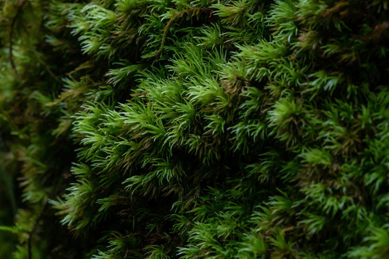画像: 形も葉に厚みがあって特徴的なので、一度見て覚えてしまえば、また別の場所でも見つけやすいです