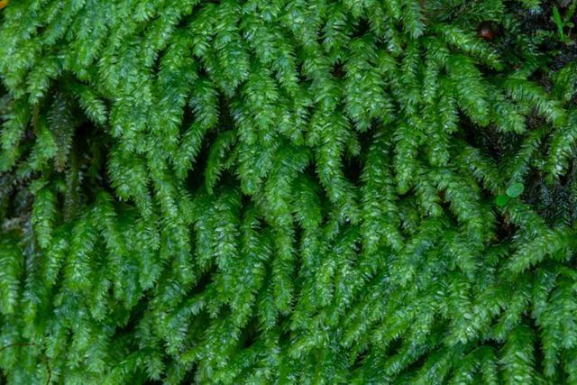 画像: びっしり編まれた真田紐のような…これはオオサナダゴケモドキ?