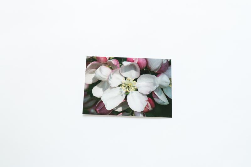 画像: クラブアップルの花。「写真で見るとわかるように、クラブアップルなどのバラ科の花は、5枚の花びらを持つ星型をしています。星型の五角形は、自然界の調和を象徴するかたちとも言われています」(谷口さん)