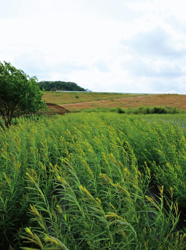 画像: 寺内さんがコリ柳を育てる豊岡市内の畑。十分な量を確保するために、みずから栽培まで行う