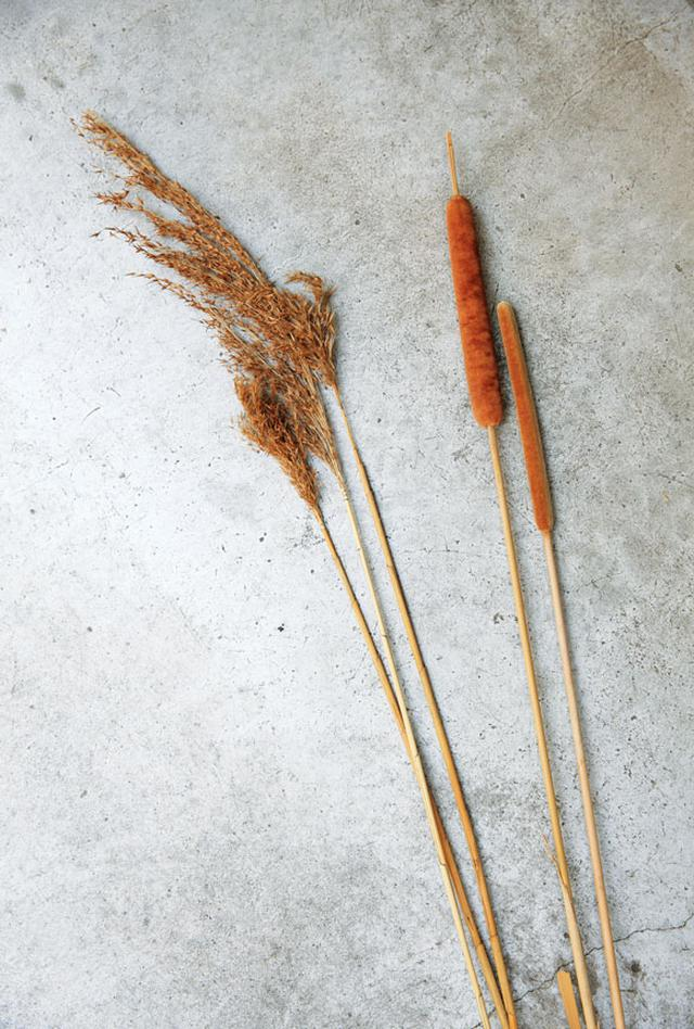 画像: すだれの原料となる蒲(右)と葭(左)。蒲は茎の中が詰まっていて強度があり、葭は中が空洞のため空気の層ができ断熱効果が高い