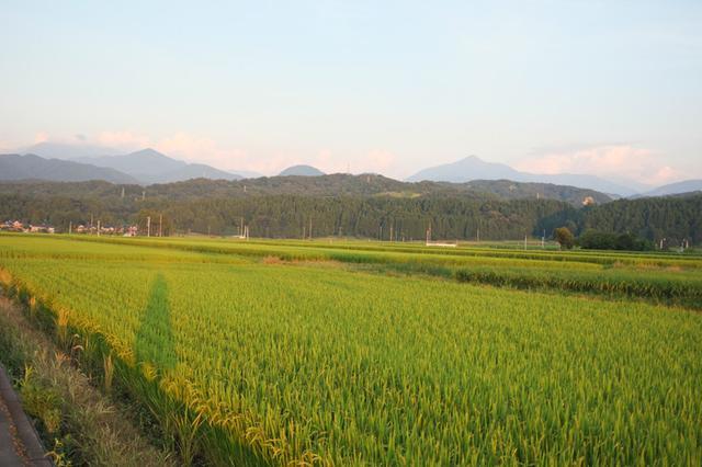 画像: 夕方の田園風景。稲穂が徐々に色づいてきました。