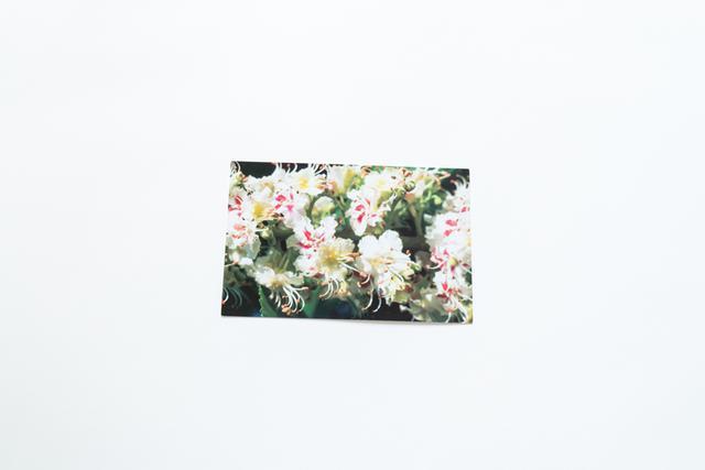 画像: 写真は、ホワイトチェストナットの花。和名は「セイヨウトチノキ」。 「ホワイトチェストナットの花の中心部は、受粉前は黄色ですが、終わると赤色に変化します」(谷口)