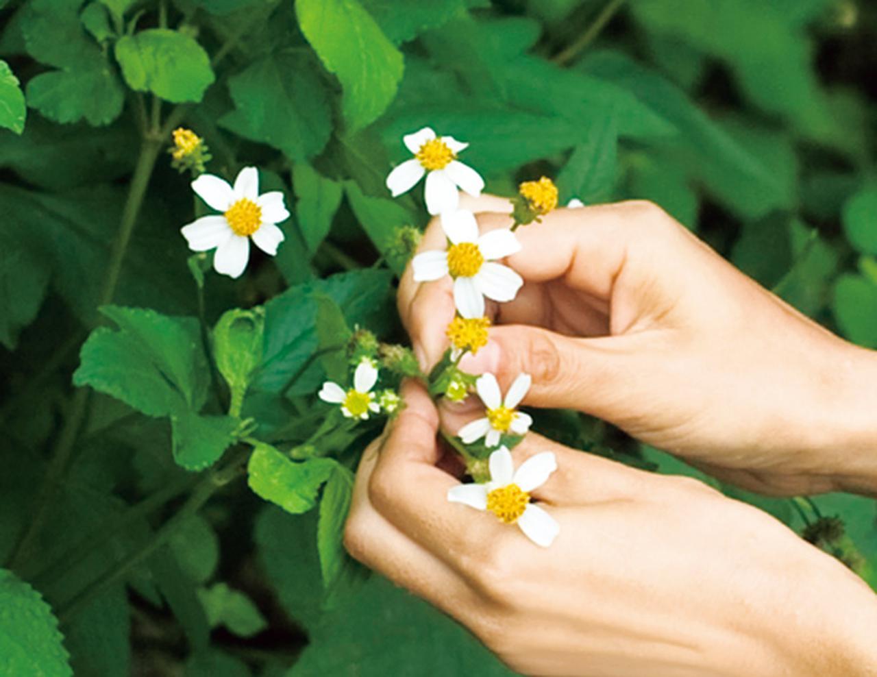 画像: 草は、根っこを残して摘む。花の開き具合をよく見て、草の柔らかさや感触などを指先で感じながら一枚ずつ、ていねいに