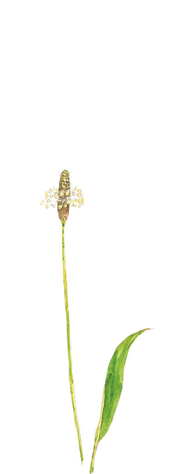 画像7: 楽しい「みちくさ」道端の植物図鑑|植物生態学者・多田多恵子さんと多摩川を歩く