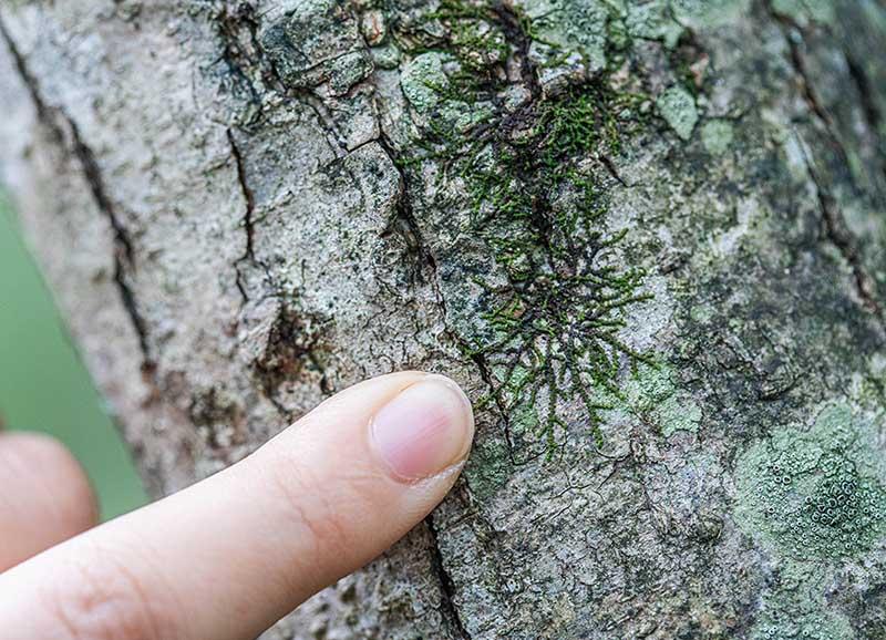 画像: 木の幹にはりついている網み目模様。これもこけです
