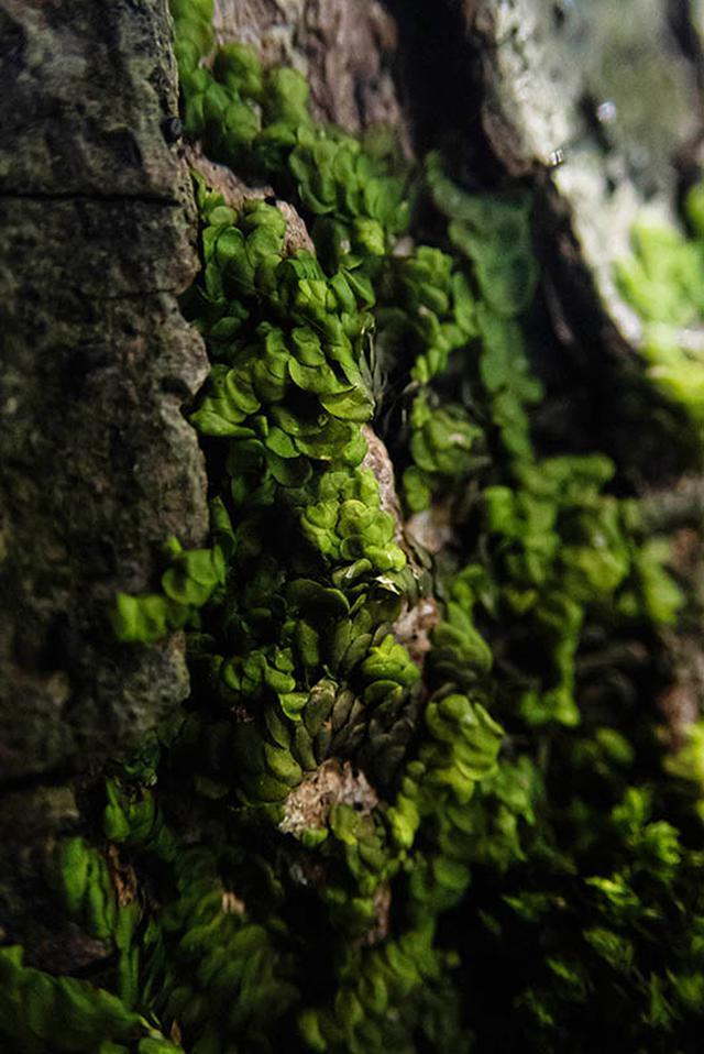 画像: 枝分かれしながらしっかり木の幹にくっついているヤスデゴケの仲間
