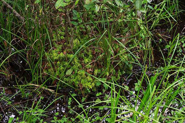画像: こけは最初に生える植物と聞きます。ミズゴケの島ができたところに種が落ちて木が生えたのでしょうか