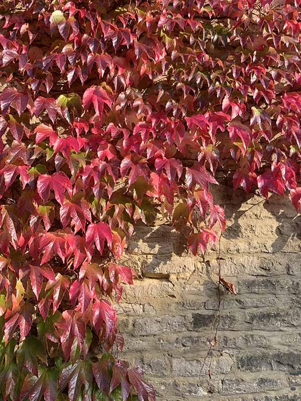 画像: ご近所のパブの壁を這うアイビーも真っ赤に紅葉しました。