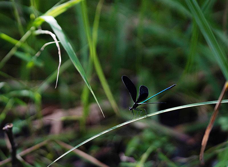 画像: まるで蝶のようにひらひらと飛ぶハグロトンボ。別名「かみさまトンボ」ともいうそうです