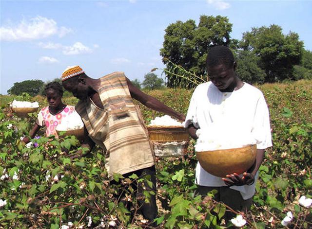 画像: 育つ作物が限られているブルキナファソでは、綿花栽培が人々にとって生きるための大切な手段となっている