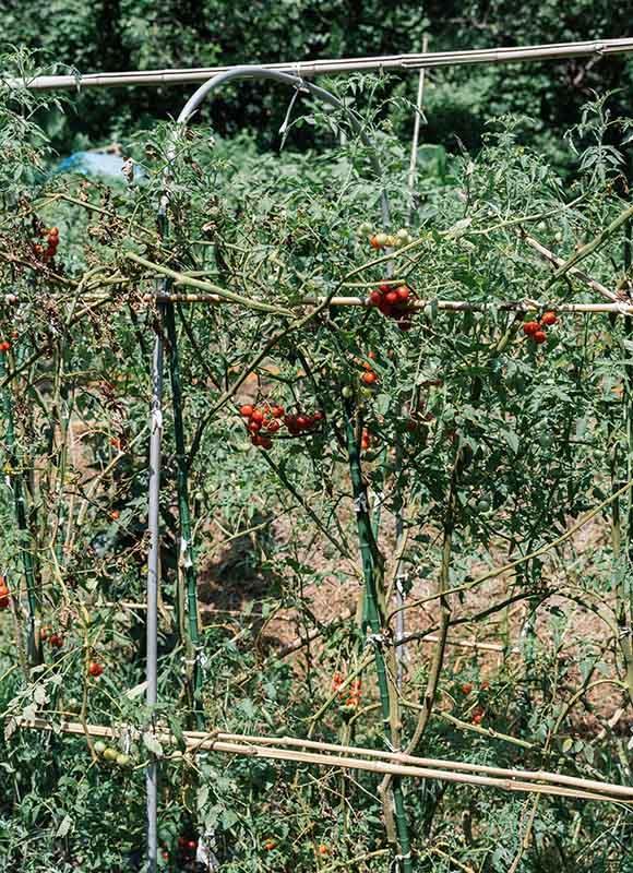 画像: 菜園に実ったプチトマト。「畑仕事は大変ですが、自然とともに生きていることを実感できるのは、とても幸せです」と祐美さん