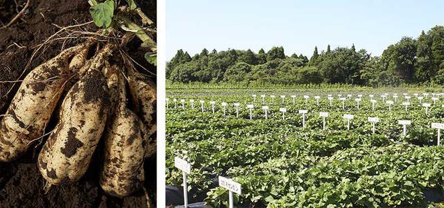 画像: 唐芋とその栽培風景