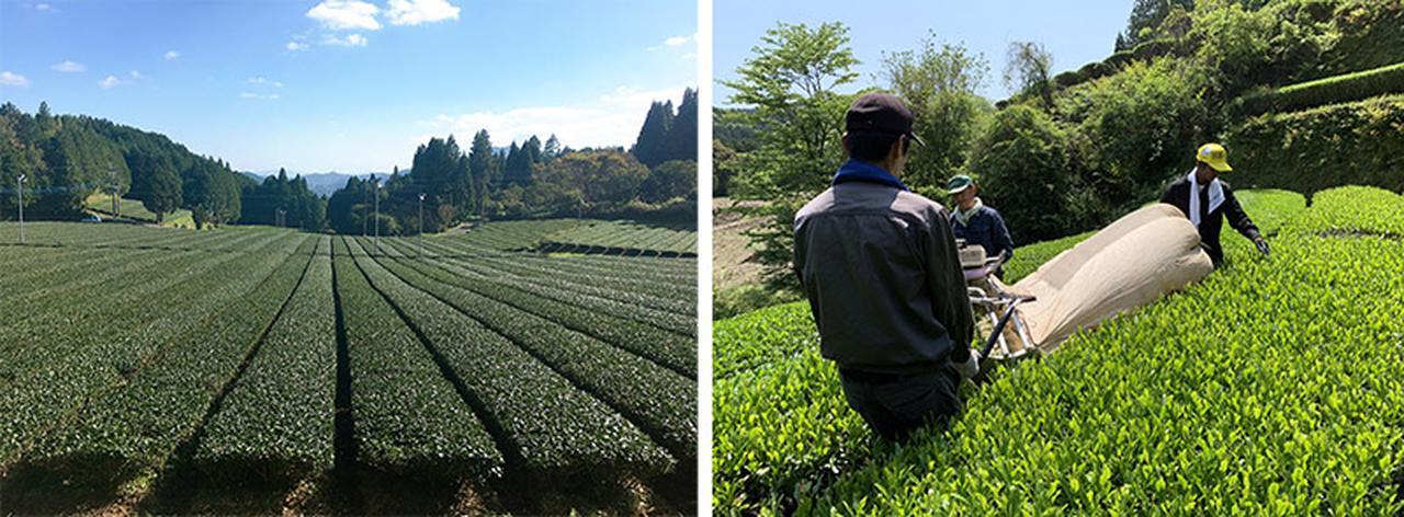 画像: うきはの山茶の茶畑と収穫風景