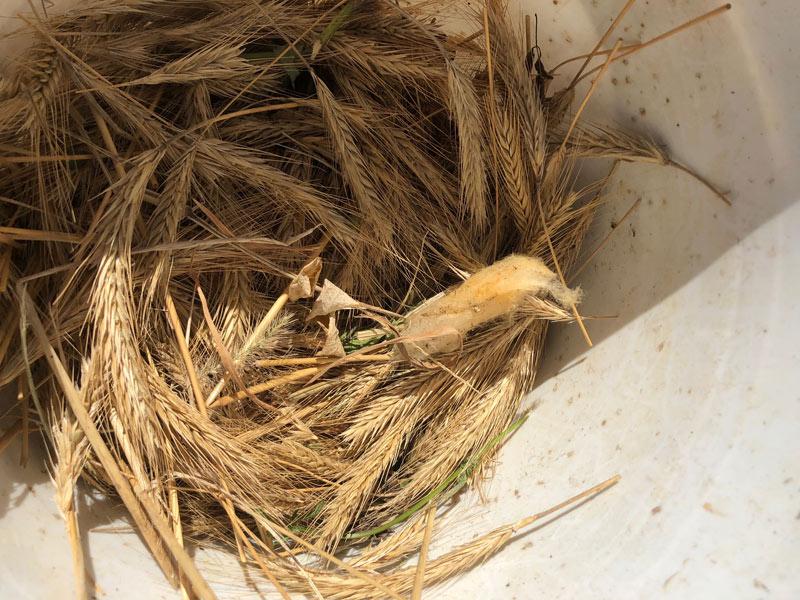画像: ライ麦はヒゲが長いのが特徴