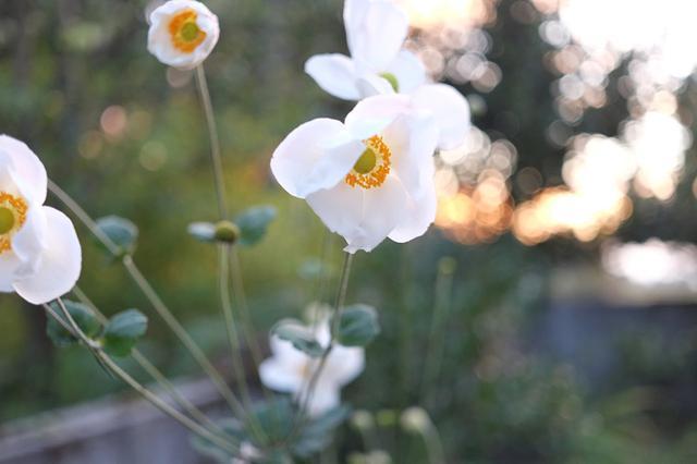 画像: 庭の秋明菊