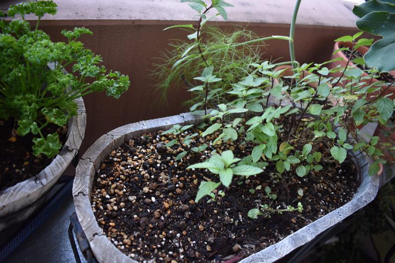 画像: 夏は青紫蘇やバジル、冬は寒さに強い植物に植え替え。