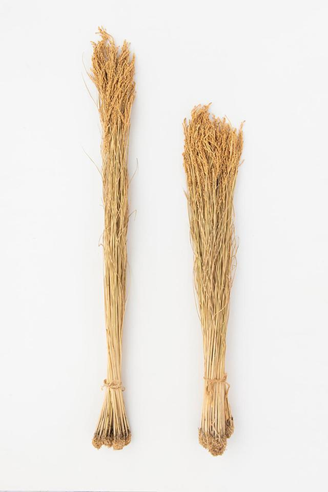 画像: 「雄町」(左)はほかの酒米にくらべて稲穂が長い。米は粒が大きく、球状になった心白が特徴です