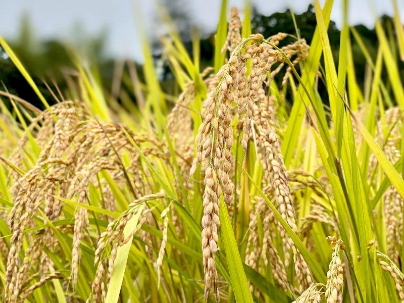 画像: 2020年10月。無肥料・無農薬で愛情いっぱいに育てられたお米。ブラウンズフィールドの目の前に広がる田んぼ一面が黄金色の波を立て、たわわと稲穂が垂れ下がってくると、収穫の合図です。