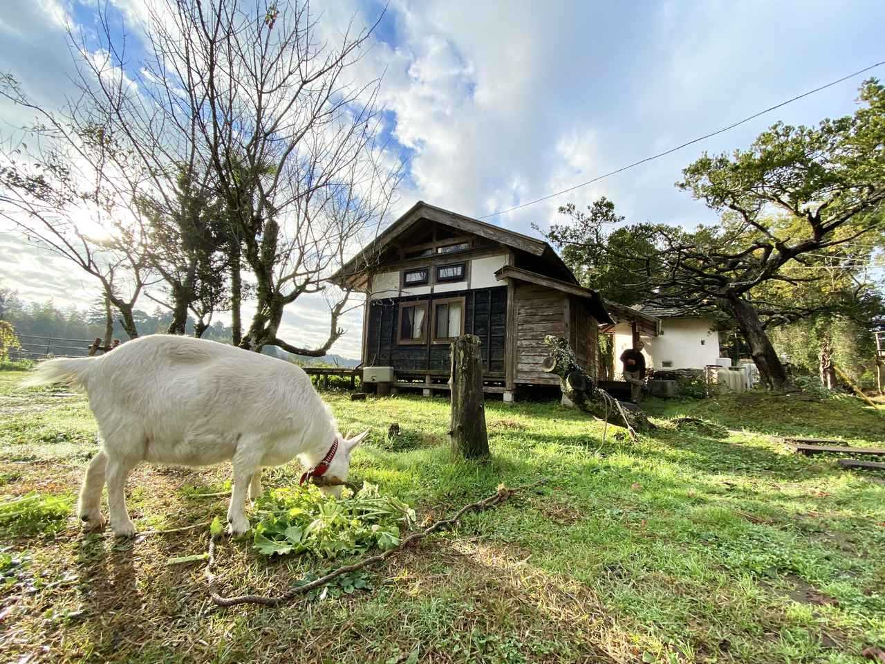 画像: ブラウンズフィールドのアイドル、やぎのお絹さん。栄養たっぷりの大根葉を食事中。