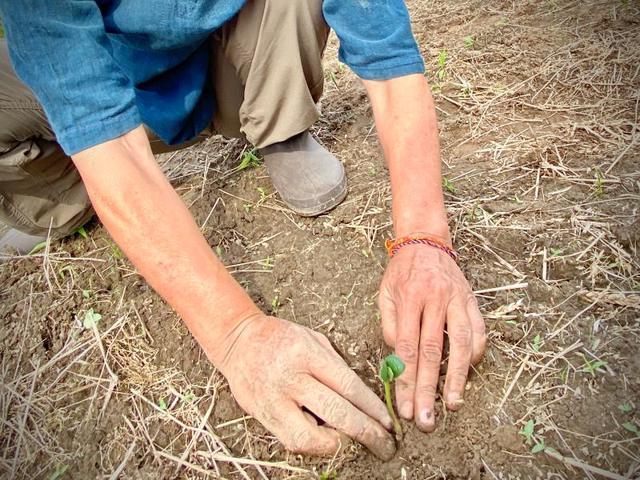 画像: 2020年6月。大事に引き継がれた固定種の大豆。一つ一つ、手作業で定植していきます。