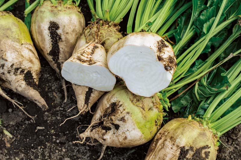 画像: てん菜の断面には、年輪のように繊維の筋が