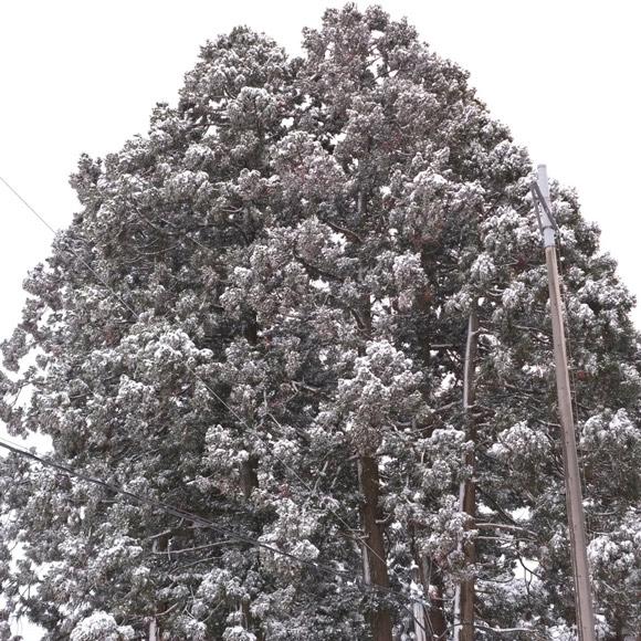 画像: 八幡宮の杉の大木も雪化粧