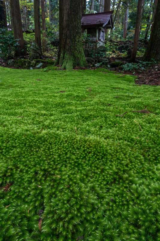 画像: 庭に広がるヒノキゴケの大群落