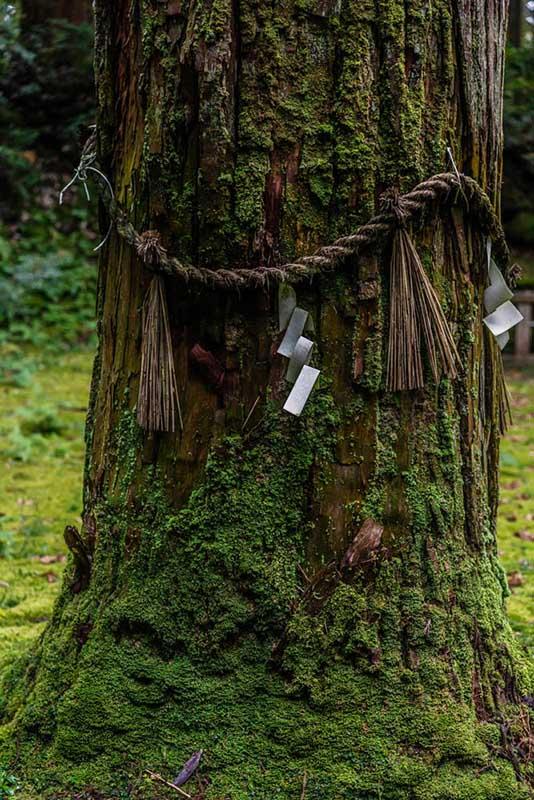 画像: 池のそばにはどっしりとした杉の木。平泉寺白山神社の御神木です