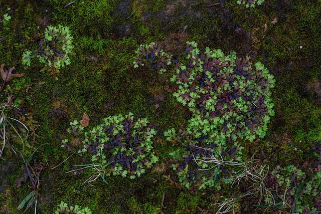 画像: 階段の左側で多く見られたのは苔類。ヒメジャゴケの群落が円を描くように広がっていました