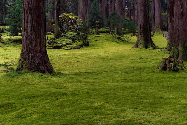画像: 芝生のように見えますが、これはこけの絨毯です