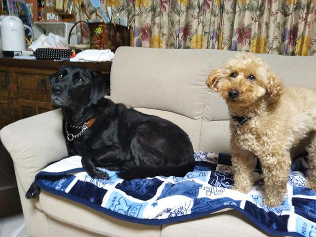画像: 保護犬のミニチュアプードルとも仲良し