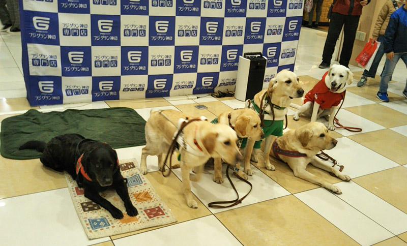 画像: 盲導犬協会で行われた募金活動に参加した時の様子。多くの人の前でも落ち着きがあります