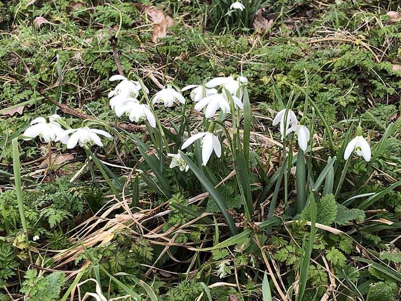 画像: 可憐な姿のスノードロップが顔を出すと、イギリスの春はもうすぐ