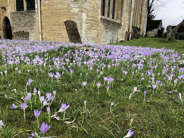 画像: 教会の敷地で見つけたクロッカスの花の絨毯