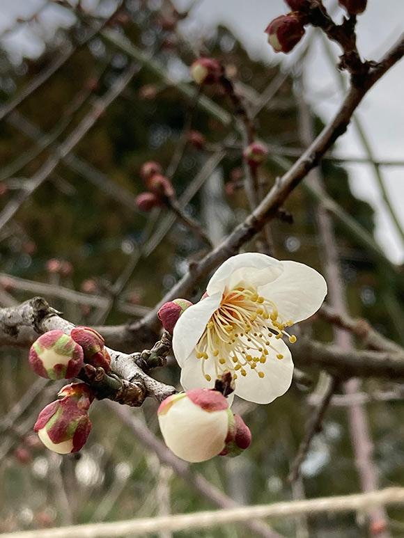 画像: 雪の重さで折れた枝もありましたが、梅の花無事に咲きました。