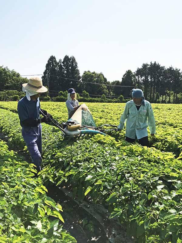 画像: 桑の葉は収穫したその日中に蒸し加工し、飲みやすいように焙煎